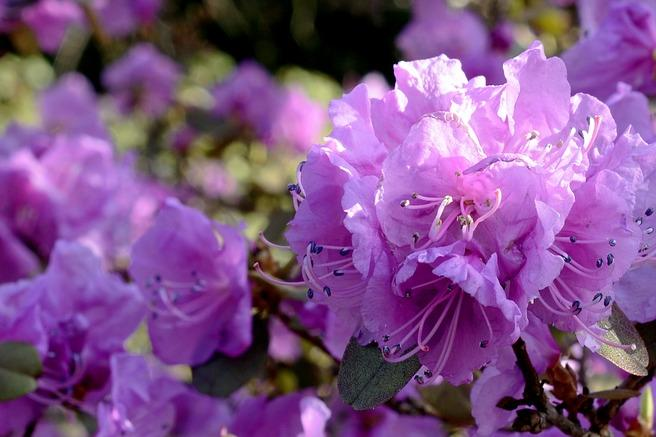 rhododendron (c) annca/Pixabay.com